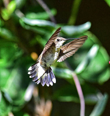 Photograph - Humming Bird 30 by Jim Boardman