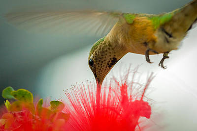 Photograph - Humming Bird And Flower by Celso Diniz