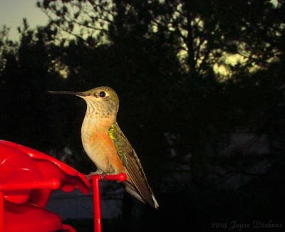 Photograph - Humming Bird Beauty by Joyce Dickens