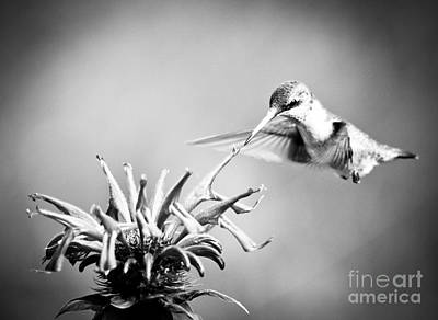 Photograph - Hummingbird Black And White by Cheryl Baxter