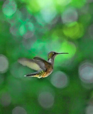 Photograph - Humming Bird In Green by Jeffrey Platt