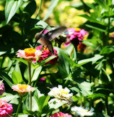 Photograph - Humming Bird In The Zinnia Patch by Kay Novy