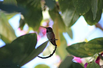 Photograph - Hummingbird 1 by Debra     Vatalaro