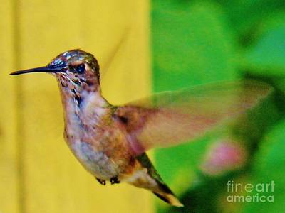 Photograph - Hummingbird 1 by Judy Via-Wolff