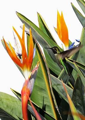 Photograph - Hummingbird 1 by Nina Donner