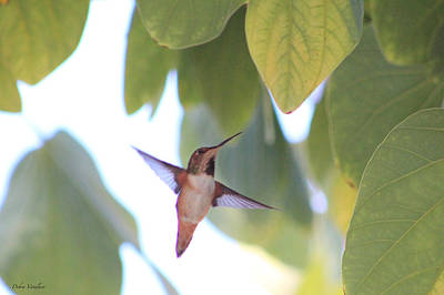 Photograph - Hummingbird 2 by Debra     Vatalaro