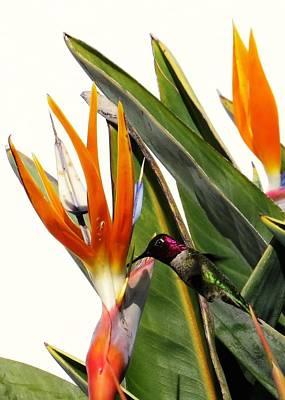 Photograph - Hummingbird 2 by Nina Donner