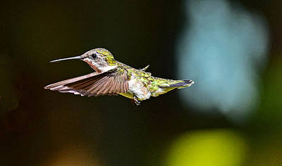 Photograph - Hummingbird 20 by Jim Boardman