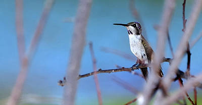 Jerry Sodorff Royalty-Free and Rights-Managed Images - Hummingbird 20323 3 by Jerry Sodorff