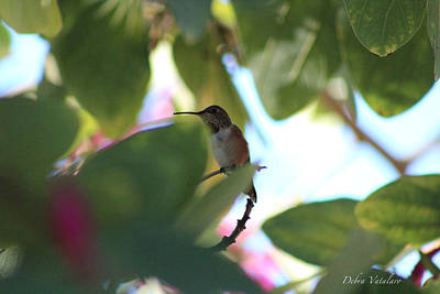 Photograph - Hummingbird 3 by Debra     Vatalaro