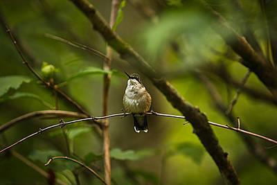 Hummingbird 3 Art Print by Tammy Schneider