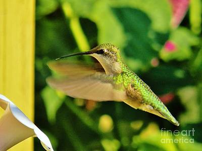 Photograph - Hummingbird 6 by Judy Via-Wolff