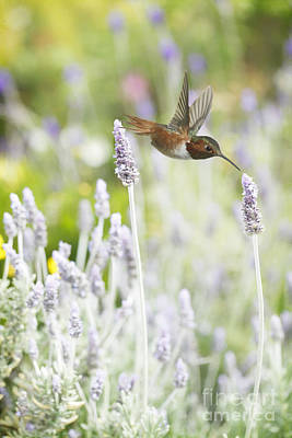 Hummingbird Photograph - Hummingbird Among Lavender by Susan Gary
