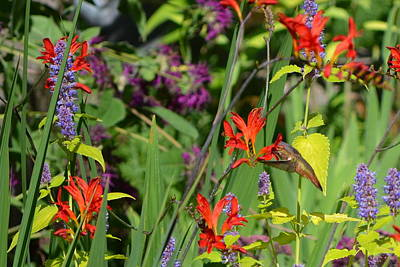 Photograph - Hummingbird And Crocosmia Lucifer by Michelle Calkins