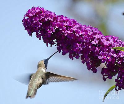 Photograph - Hummingbird And Flower by Jim And Emily Bush
