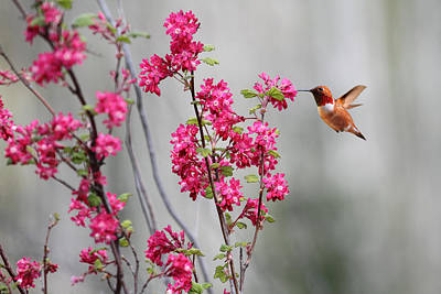 Hummingbird And Flowers Photograph - Hummingbird And Flowers by Peggy Collins