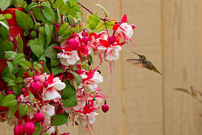 Photograph - Hummingbird And Fuchsia by Shari Sommerfeld