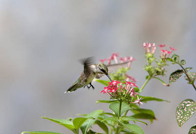 Photograph - Hummingbird And Penta by Robert Camp