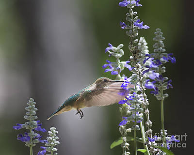 Hummingbird And Purple Flowers Art Print