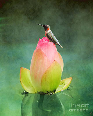 Photograph - Hummingbird And The Lotus by Jai Johnson
