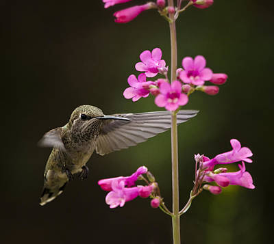 Photograph - Hummingbird And The Pink Penstemon  by Saija  Lehtonen