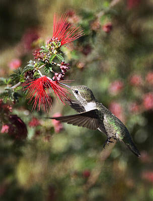 Photograph - Hummingbird And The Red Feather Duster  by Saija  Lehtonen