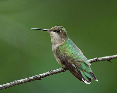 Photograph - Hummingbird At Rest by Jim Zablotny