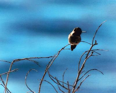 Photograph - Hummingbird At Waters Edge by Timothy Bulone