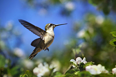 Photograph - Hummingbird Beauty In Flight by Christina Rollo