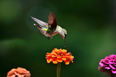 Rollos Photograph - Hummingbird Bullseye by Christina Rollo