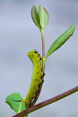 Photograph - Hummingbird Clearwing Moth Caterpillar by Kristin Hatt