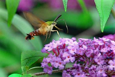 Hummingbird Clearwing Moth Art Print by Gary Keesler