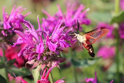 Photograph - Hummingbird Clearwing Moth by Lucinda VanVleck