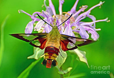 Photograph - Hummingbird Clearwing Moth by Rodney Campbell
