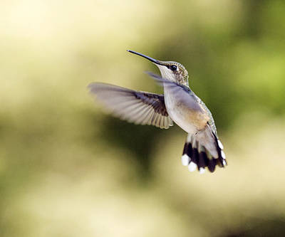 Art Print featuring the photograph Hummingbird by David Lester