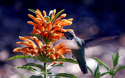 Print featuring the photograph Hummingbird Delight by AJ  Schibig