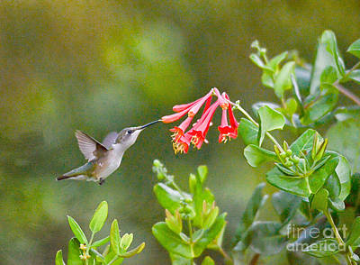 Photograph - Hummingbird Dives In  by Kerri Farley