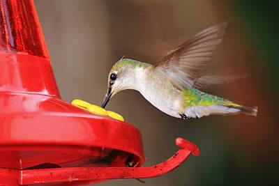 Photograph - Hummingbird Eating by Barbara West