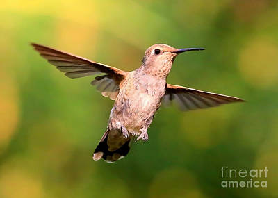 Photograph - Hummingbird Encounter by Carol Groenen