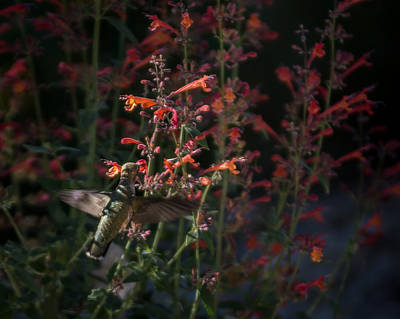 Photograph - Hummingbird Feeding 3 by Ernie Echols