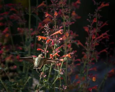 Photograph - Hummingbird Feeding 5 by Ernie Echols