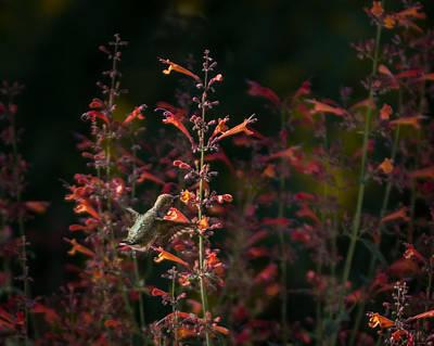 Photograph - Hummingbird Feeding 6 by Ernie Echols