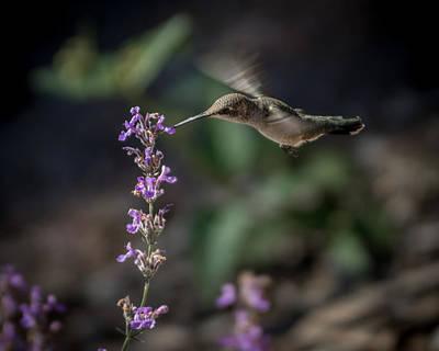 Photograph - Hummingbird Feeding 8 by Ernie Echols