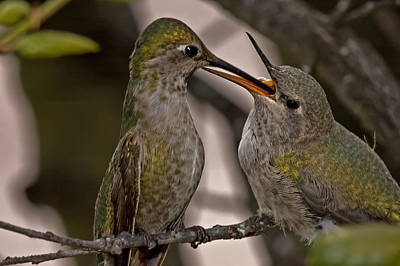Photograph - Hummingbird Feeding Baby by Lee Kirchhevel