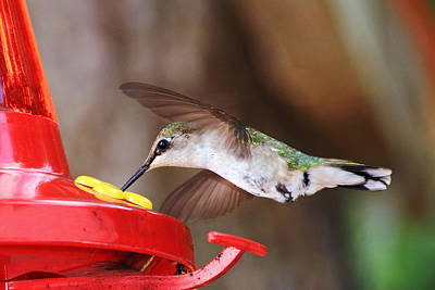 Photograph - Hummingbird Feeding by Barbara West