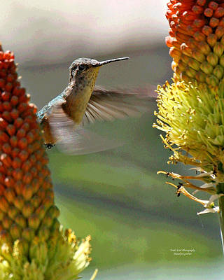 Photograph - Hummingbird Feeding by Matalyn Gardner