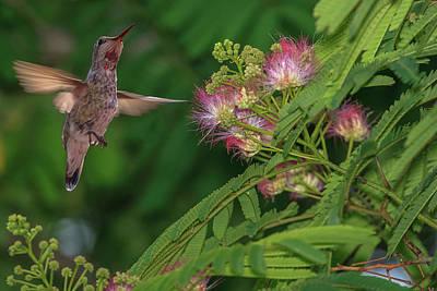 Annas Hummingbirds Wall Art - Photograph - Hummingbird Feeding Off Silk Tree by Tom Norring