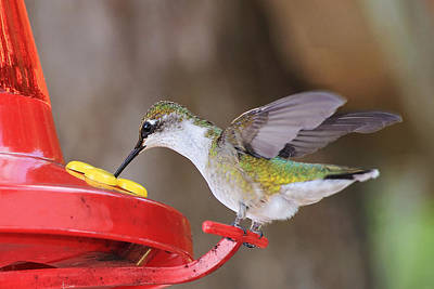 Photograph - Hummingbird Feeding Time by Barbara West