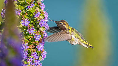 Photograph - Hummingbird Feeding While Flying  by Pierre Leclerc Photography