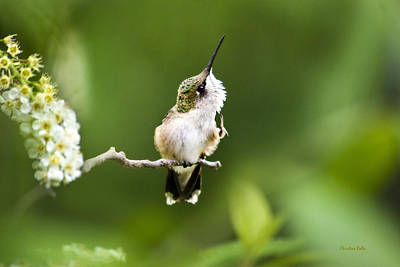 Rollos Photograph - Hummingbird Flexibility by Christina Rollo